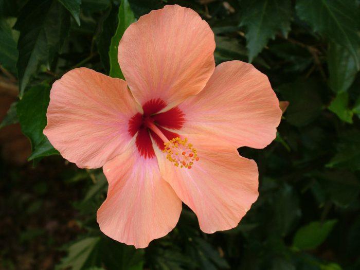 Hibiscus Flower images