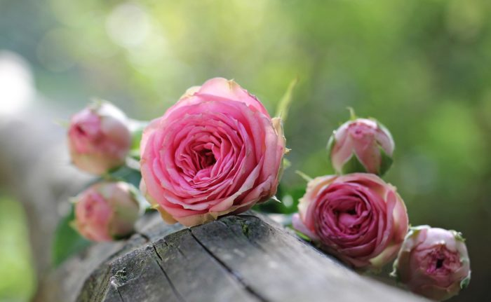 Rose Flower Images
